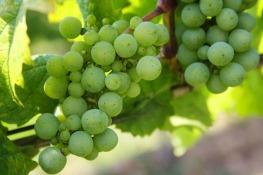 grapes-439300_1920