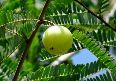 indian-gooseberry-337446_1920